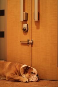 待ちくたびれてうたた寝する白茶のペチャ顔犬の写真素材 [FYI00151584]