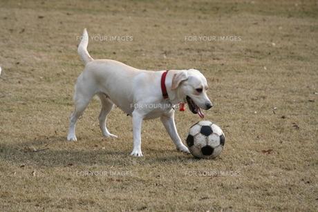 サッカーボールで遊ぶ白い犬の写真素材 [FYI00151587]