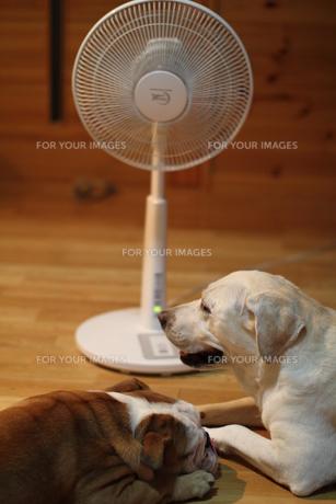 扇風機で涼む2頭の犬の写真素材 [FYI00151610]