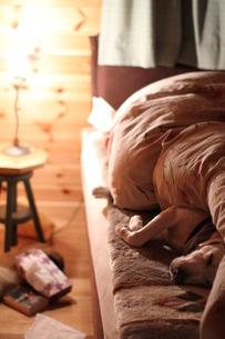 ベッドで眠る白い犬の写真素材 [FYI00151624]