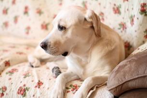 ソファーで何かを見つけた白い犬の素材 [FYI00151634]