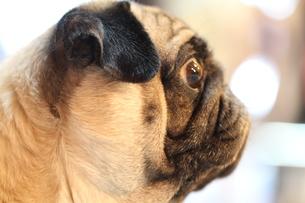 凝視するペチャ顔犬の写真素材 [FYI00151638]