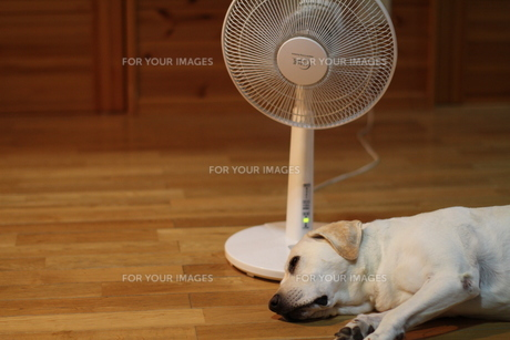 扇風機で涼む白い犬の写真素材 [FYI00151643]
