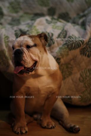 座り込む茶色のペチャ顔犬の写真素材 [FYI00151659]