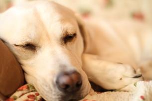 眠る白い犬の写真素材 [FYI00151676]