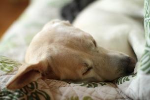 眠る白い犬の写真素材 [FYI00151681]