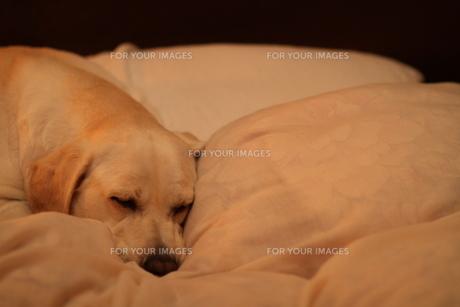 布団で眠る白い犬の写真素材 [FYI00151682]