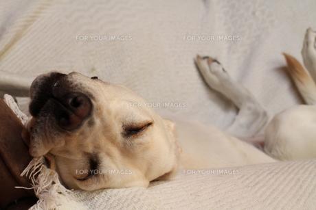 仰向けで眠る白い犬の写真素材 [FYI00151686]