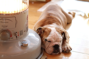 ストーブで暖まる白茶のペチャ顔犬の写真素材 [FYI00151693]