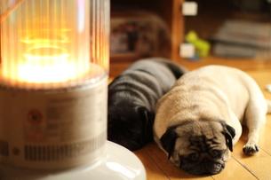 ストーブで暖まる2頭のペチャ顔犬の写真素材 [FYI00151694]