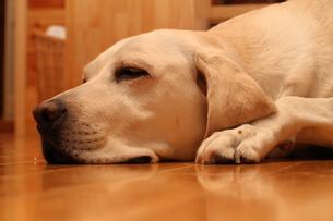 くつろぐ白い犬の写真素材 [FYI00151705]