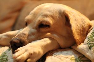 のんびり眠る白い犬の写真素材 [FYI00151706]