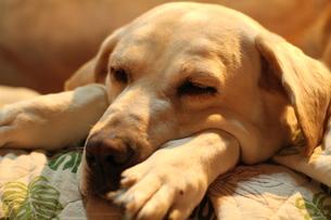 のんびり眠る白い犬の写真素材 [FYI00151708]