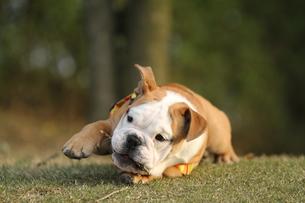 芝生でのんびりする白茶のペチャ顔犬の写真素材 [FYI00151731]