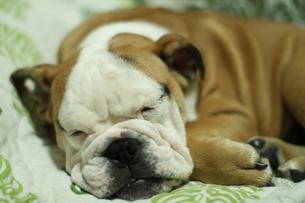 安らかに眠る白茶のペチャ顔犬の写真素材 [FYI00151757]