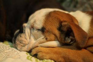 横になってくつろぐ白茶のペチャ顔犬の写真素材 [FYI00151760]