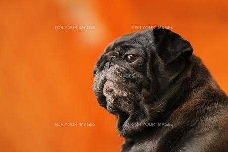 前を見る黒のペチャ顔犬の素材 [FYI00151766]