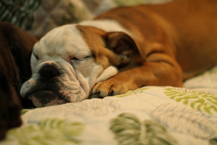 横になってくつろぐ白茶のペチャ顔犬の写真素材 [FYI00151769]