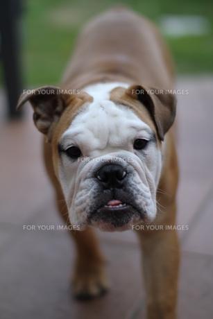 歩み寄る白茶のペチャ顔犬の素材 [FYI00151771]