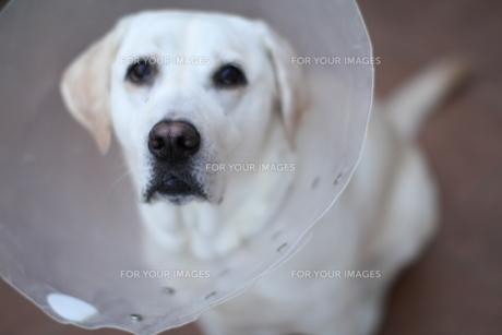エリザベスカラーをする白い犬の素材 [FYI00151776]