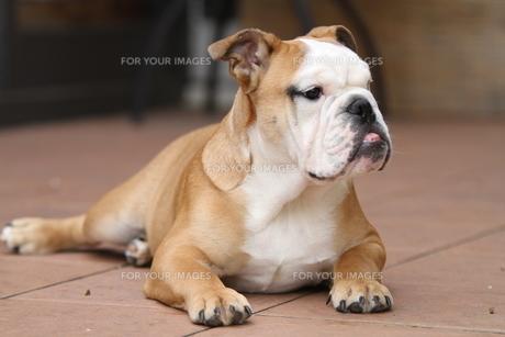 何かを見つけた白茶のペチャ顔犬の素材 [FYI00151788]