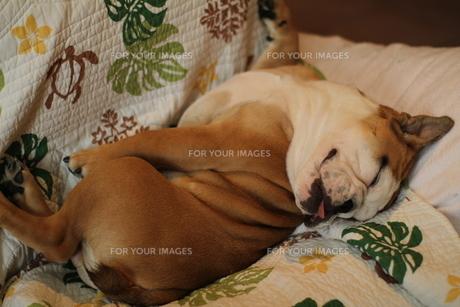 無防備に寝ている白茶のペチャ顔犬の写真素材 [FYI00151792]