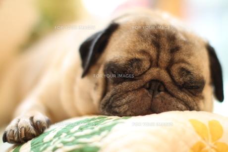 気持ち良さそうに眠るパグ犬の素材 [FYI00151797]