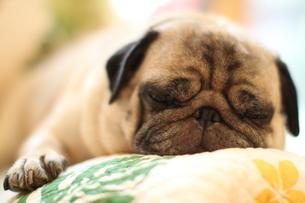 気持ち良さそうに眠るパグ犬の写真素材 [FYI00151797]