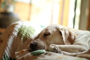 光の中で眠る白い犬の写真素材 [FYI00151805]
