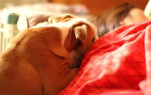 寝ている飼い主を起こす白茶の犬の素材 [FYI00151839]