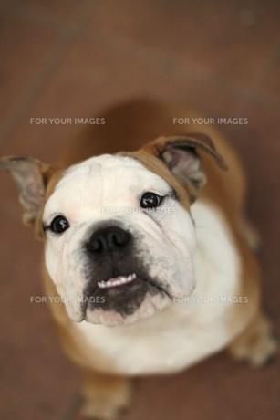 無垢な瞳で見上げる白茶のペチャ顔犬の素材 [FYI00151846]