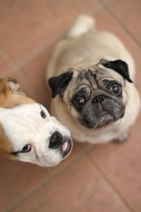 上目づかいの2頭のペチャ顔犬の素材 [FYI00151860]