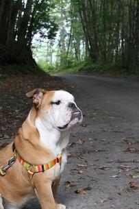 雑木林のペチャ顔犬の写真素材 [FYI00151911]