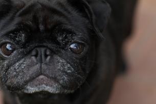 見つめる黒いペチャ顔犬の素材 [FYI00151980]
