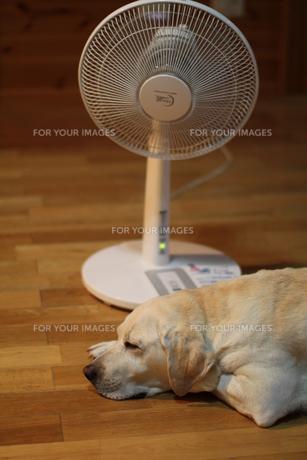 扇風機で涼むラブラドールレトリーバーの写真素材 [FYI00152052]