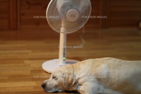 扇風機で涼むラブラドールレトリーバーの写真素材 [FYI00152072]