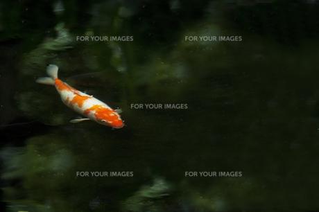 池の鯉の写真素材 [FYI00152078]