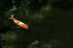 池の鯉の素材 [FYI00152078]