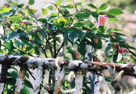 軒先の花の素材 [FYI00152088]