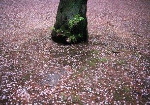 桜散る頃の素材 [FYI00152094]