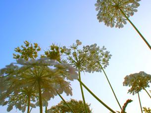 パラソルのような花の写真素材 [FYI00152137]