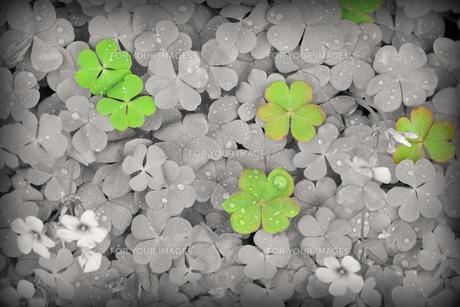 cloverの写真素材 [FYI00152143]