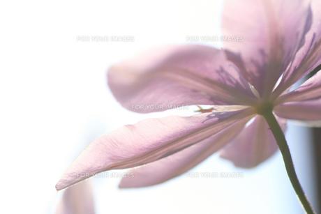 儚く咲く花の素材 [FYI00152159]