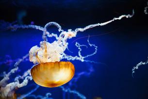 浮遊するクラゲの写真素材 [FYI00152196]