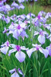 菖蒲の花の写真素材 [FYI00152200]