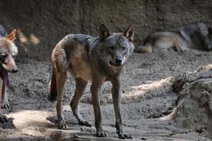 オオカミの写真素材 [FYI00152369]