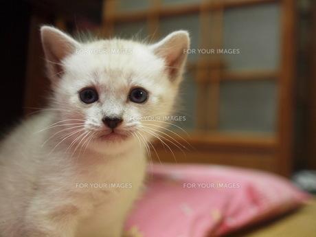 子猫の写真素材 [FYI00152498]