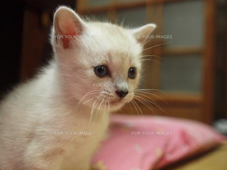 子猫の写真素材 [FYI00152529]