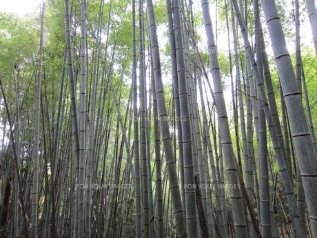 竹の写真素材 [FYI00152597]