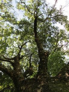 肉桂の木の写真素材 [FYI00152598]